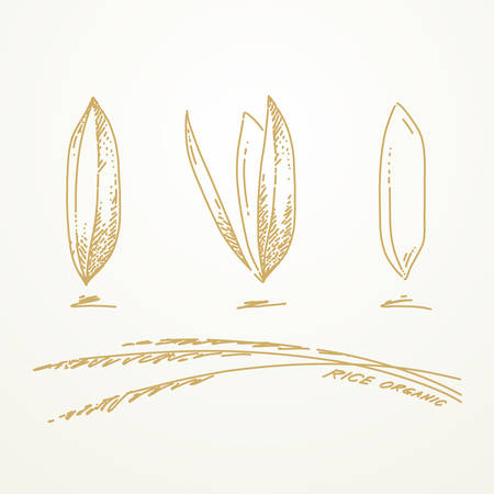 paddy: Rice grains, Sketch hand drawn