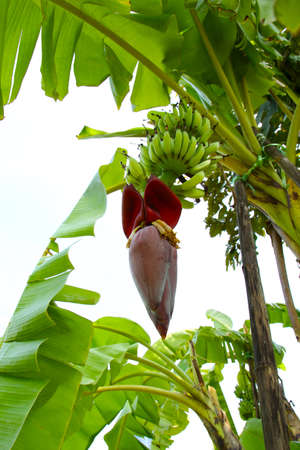 Banana blossom Stock Photo
