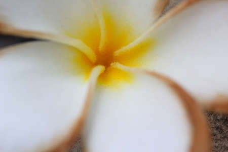 champa flower: Champa Flower close and blur