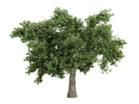 rinds: Rendered 3d isolated quercus Stock Photo