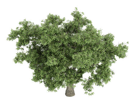 quercus: Rendered 3d isolated quercus Stock Photo