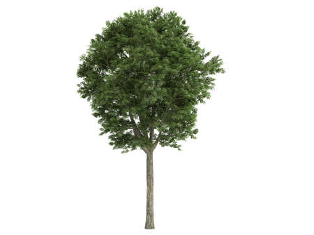 rinds: Rendered 3d isolated ash-tree
