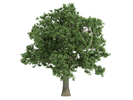 Rendered 3d isolated quercus Stock Photo