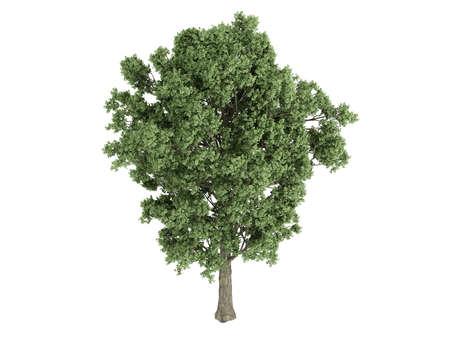 poplar: Rendered 3d isolated poplar Stock Photo