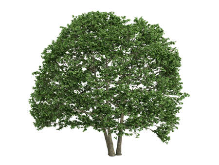rinds: Rendered 3d isolated alder