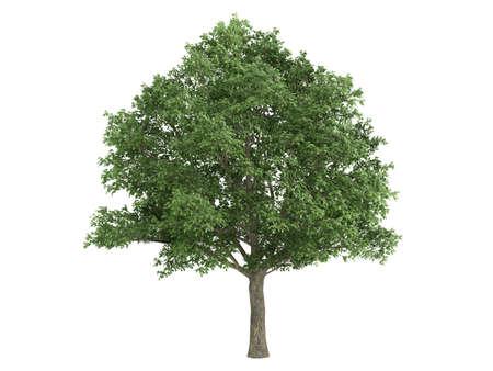 quercus robur: Rendered 3d isolated oak