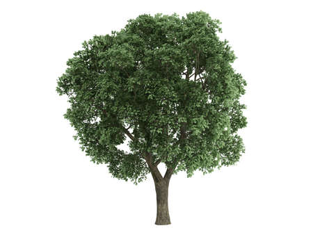 broadleaved tree: Rendered 3d isolated elm