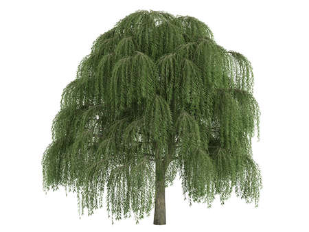 Rendered 3d isolated willow