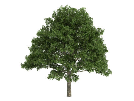 quercus: Rendered 3d isolated oak