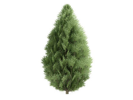 Rendered 3d isolated cypress (Chamaecyparis lawsoniana)
