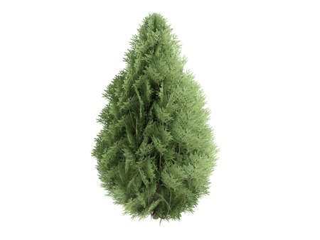 Rendered 3d isolated cypress (Chamaecyparis lawsoniana) photo