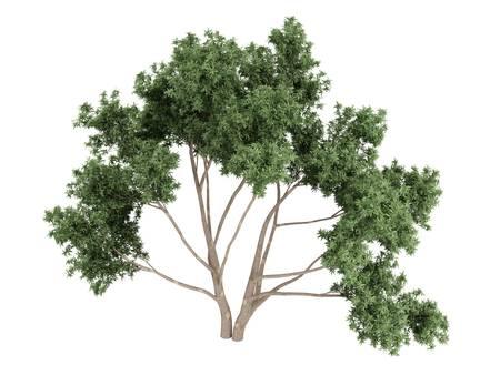 broadleaved tree: Rendered 3d isolated eucalyptus