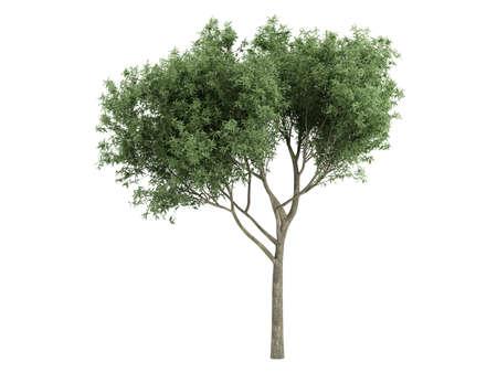 salix fragilis: Rendered 3d isolated willow (Salix fragilis) Stock Photo