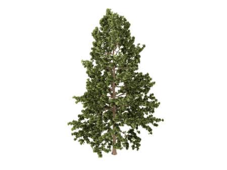 Rendered 3d isolated cork pine (Pinus strobus) photo