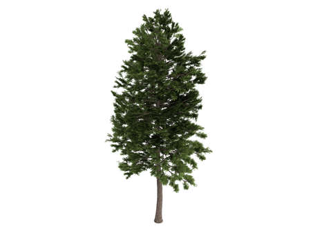 Rendered 3d isolated pine (Pinus sylvestris) photo