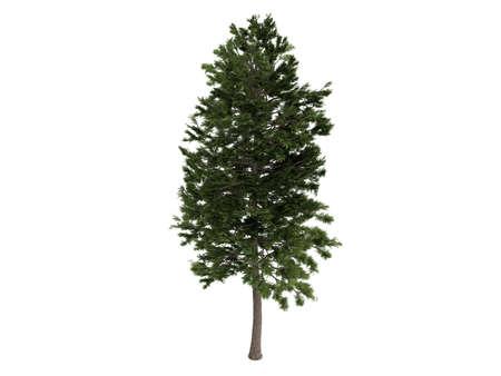 pinus sylvestris: Rendered 3d isolated pine (Pinus sylvestris)