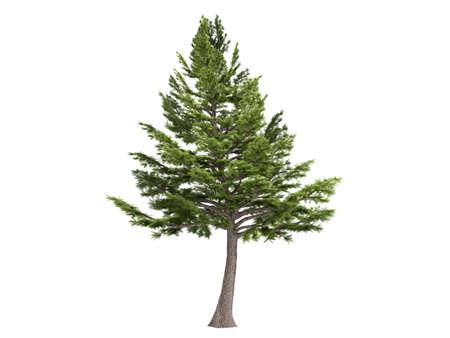 cedar tree: Rendered 3d isolated cedar (Cedrus libani)