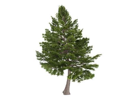 dense: Rendered 3d isolated cedar (Cedrus libani)