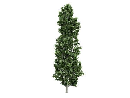 Rendered 3d isolated poplar (Populus) Stock Photo