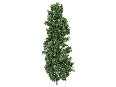 poplar: Rendered 3d isolated poplar (Populus) Stock Photo