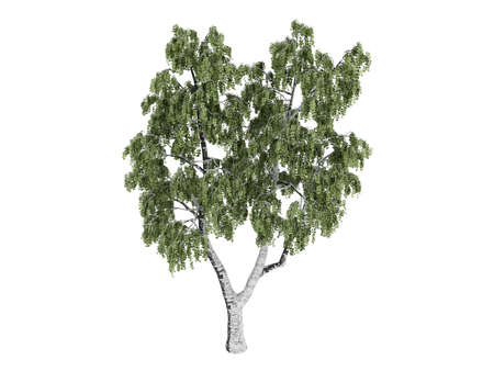betula: Rendered 3d isolated birch (Betula)