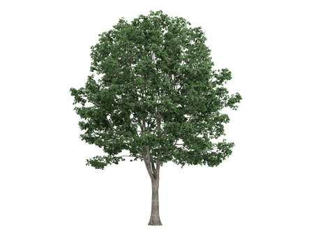 Rendered 3d isolated linden (Tilia)