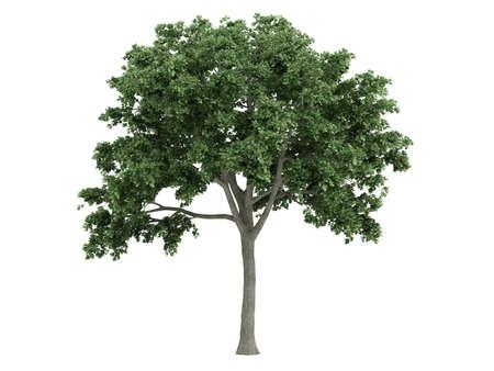 elm: Rendered 3d isolated elm (Ulmus) Stock Photo