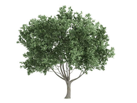 rendered: Rendered 3d isolated olive (Olea europaea)