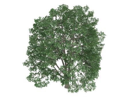 linden tree: Rendered 3d isolated linden (Tilia)