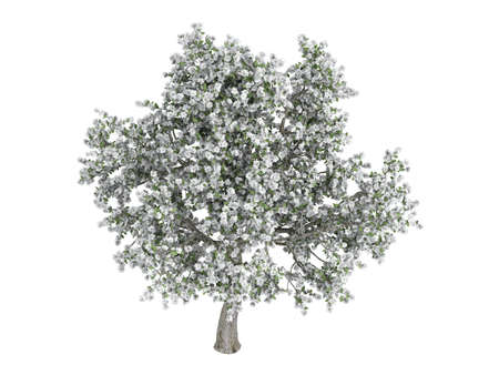 pyrus: Rendered 3d isolated pear (Pyrus) Stock Photo