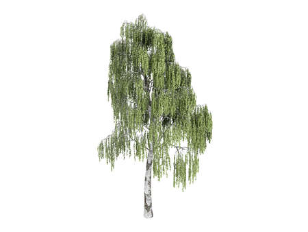 rinds: Rendered 3d isolated birch (Betula)