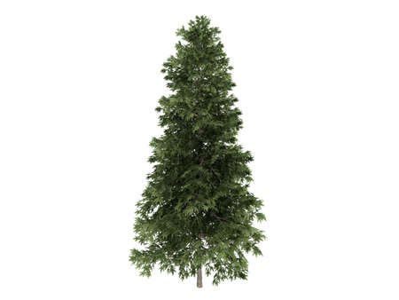picea: Rendered 3d isolated spruce (Picea abies)