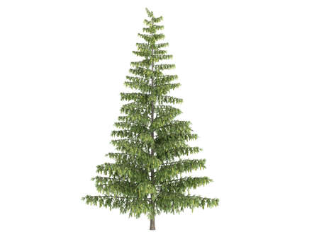 Rendered 3d isolated spruce (Picea) photo