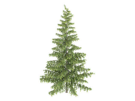 picea: Rendered 3d isolated spruce (Picea)