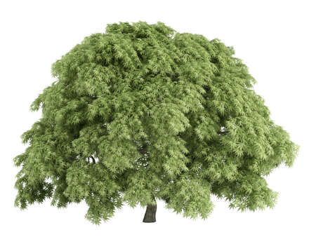 acer palmatum: Rendered 3d isolated maple (Acer palmatum)