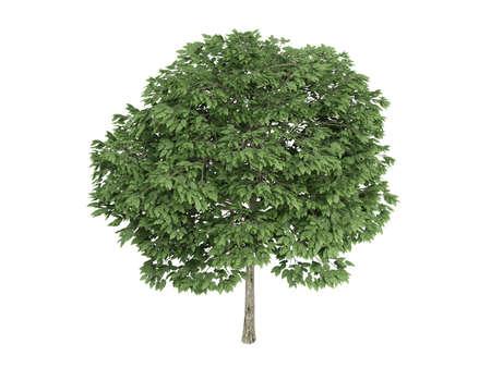 Rendered 3d isolated rowan (Sorbus) photo