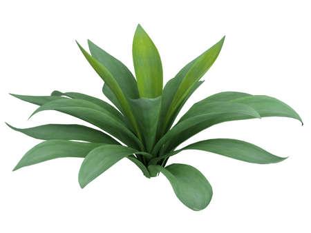 agave: Prestados agave aislado 3d