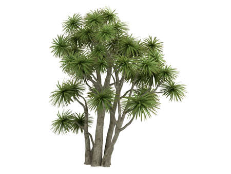 cordyline: Rendered 3d isolated Cabbage Palm (Cordyline australis)