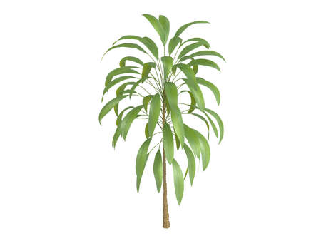 cordyline: Rendered 3d isolated Broadleaved Palm Lily (Cordyline petiolaris) Stock Photo