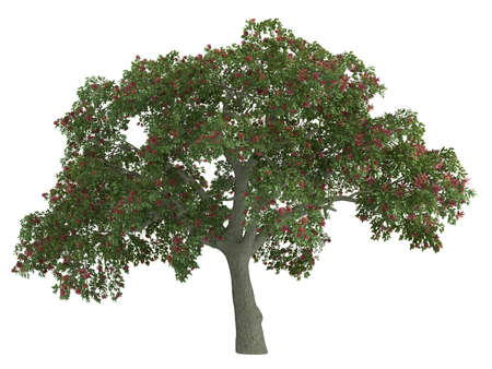 coral bark: Rendered 3d isolated coral tree (Erythrina) Stock Photo