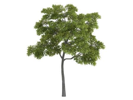 Rendered 3d isolated black walnut (Juglans nigra)