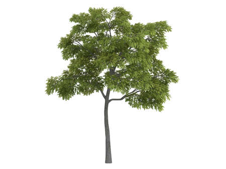 rinds: Rendered 3d isolated black walnut (Juglans nigra)