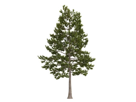 Rendered 3d isolated loblolly pine (Pinus taeda)