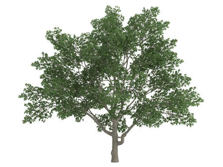 evergreen: Rendered 3d isolated sweetbay magnolia (Magnolia virginiana) Stock Photo