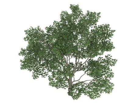 broadleaved tree: Rendered 3d isolated sweetbay magnolia (Magnolia virginiana) Stock Photo