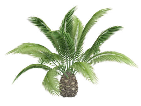 canariensis: Rendered 3d isolated canary date palm (Phoenix canariensis)