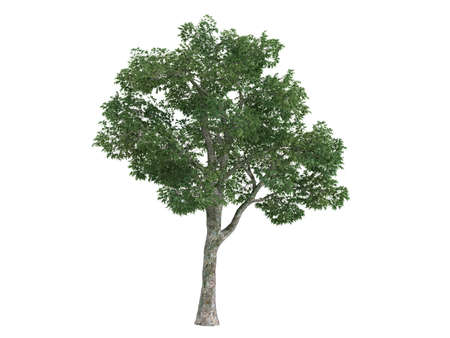 Rendered 3d isolated platane (Platanus) Stock Photo