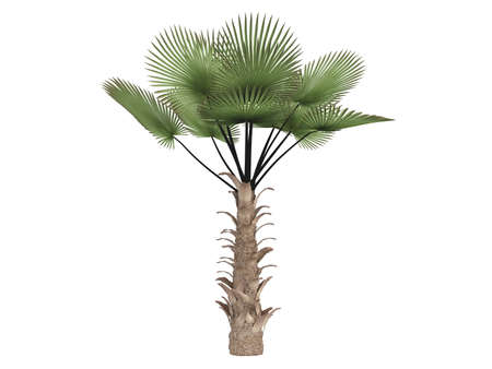 palmtrees: Rendered 3d isolated windmill palm (Trachycarpus fortunei)