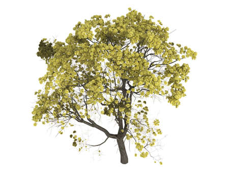 Rendered 3d isolated golden trumpet tree (Tabebuia chrysantha) Stock Photo - 5845546