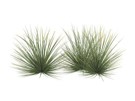 agave: Prestados 3d de erizo aislados de agave (Agave stricta)